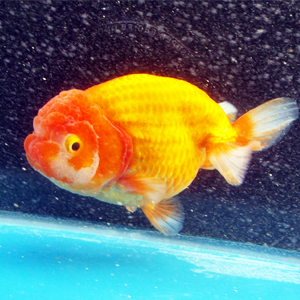 Live Red And White aquarium fish Ranchu , Sell Japanese Kingyo Gold Fish
