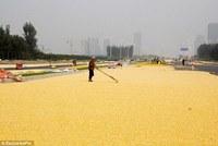 Animal Feed Yellow Corn in bulk