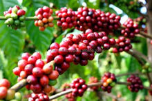 BULK ROBUSTA COFFEE S13/S16/S18