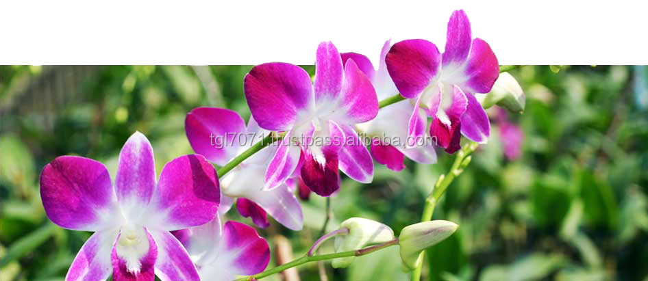 Beautiful Orchid Cut Flowers for sale