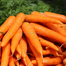Indian Carrots for export