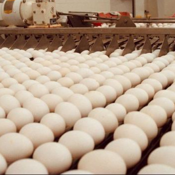 Best quality farm fresh brown & white chicken eggs for sale