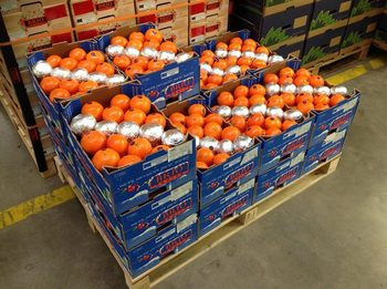 Fresh Naval and Valencia Oranges For Sale
