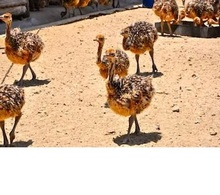 best quality ostrich chicks for sale at good price