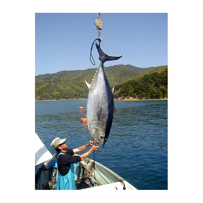 Top Quality and Delicious Maruha Nichiro Fresh Tuna Fish for Export