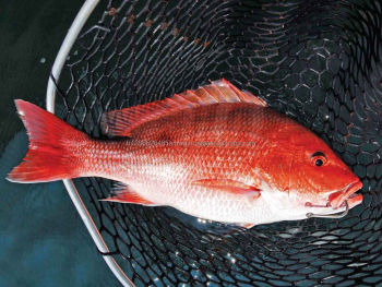 red fish IQF frozen red snapper