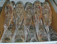 Whole Frozen Lobsters