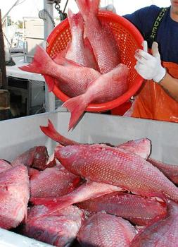 Affordable Red snapper fish