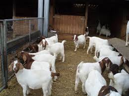 Grade A Full Blood Boer Goats/Live Sheep/ Cattle/ Lambs and Cows for sale