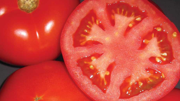 Natural Fresh Red Farm Harvested Tomatoes