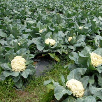 Hot wholesale bulk pack high quality fresh organic cauliflower