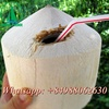EXCELLENT QUALITY DIAMOND YOUNG FRESH COCONUT FROM VIETNAM