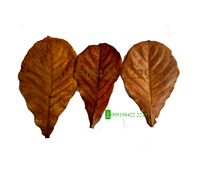 Indian almond leaves wholesale catappa leaves for sale Ketapang or Sea Almond / Terminalia catappa leaves for aquarium use