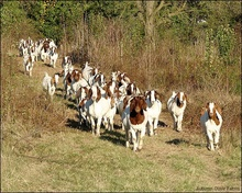 100% Full Blood Boer Goats, Live Sheep, Cattle, Lambs and Cows