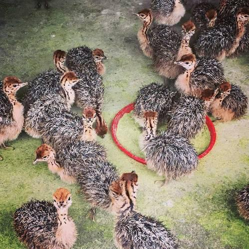 Ostrich Chicks for sale /Red and Black neck Ostrich for sale/Live Ostrich Birds
