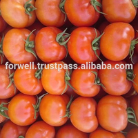 Fresh tomatoes in high quality form Egypt