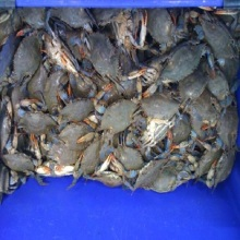 Frozen live crab export