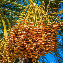 High Quality Sweet Fresh Tunisian Deglet Nour Fruit Dates In Bulk