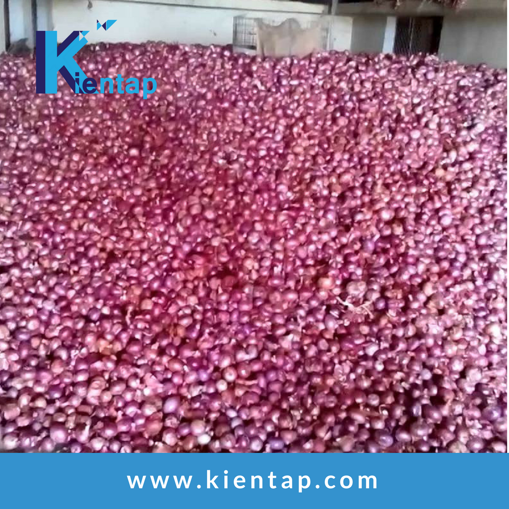 Fresh onion export to dubai fresh rate/search onion exporter in vietnam