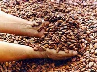 # 100% Pure Natural cacao tree seeds/ Cocoa Powder for Food and Beverage