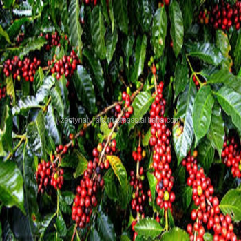 HEALTH BENEFITS OF INDIAN ORGANIC COFFEE BEANS ROBUSTA CHERRY / AB/ PB GRADE UNROSTAED