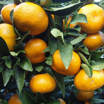 FRESHLY Fresh Green YELLOW Oranges, Limes, Lemons) FOR SALE from south africa for export