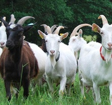 best quality live sheeps for sale at good price