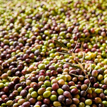 Various types of quality Fresh Olives