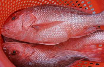 RED SNAPPER WHOLE ROUND/ WHOLE CLEANED, ORIGIN: NORWAY