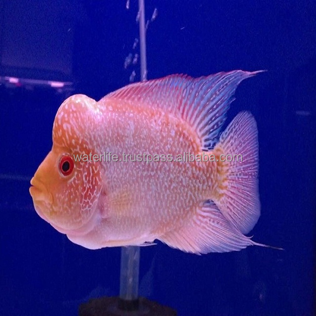 Good quality King Kamfa, Super Red Dragon Fish Malaysia Exporter