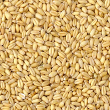 Soft Wheat 12.5 % protein from Russia/Ukraine/Kazakhstan/Bulgaria crop 2017
