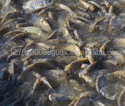 Good Quality Tilapia Fish fry from Sri Lanka