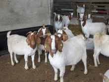 Boer Goats 100% Full Blood , Live Sheep, Cattle, Lambs and Cows