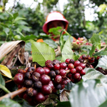 Arabica Coffee Beans High Quality wholesale coffee beans green beans wholesale 100% - ACEH GAYO