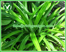 FRESH/FROZEN/DRIED/POWDER PANDAN LEAF