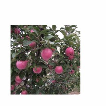 Hot selling new brand apple fruit fresh red delicious qinguan apple fuji apple