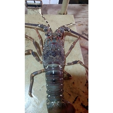 Frozen Fresh Live Lobster - Alive Lobster For Hong Kong - Malaysia - Thailand - China