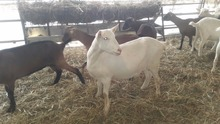 Saanen Goats for sale (high quality milk production)