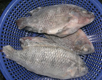 High Quality Frozen Black Tilapia And Frozen Red Tilapia , Tilapia Fillets