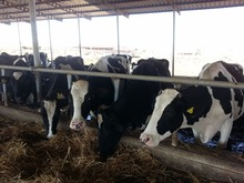 holstein heifers cattle for sale