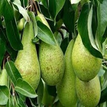 Delicious Fresh Pear Fruits With Competitive Prices for sale