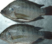 Whole Tilapia Frozen Black and Red Tilapia Fish/frozen fish fillet red tilapia fillet