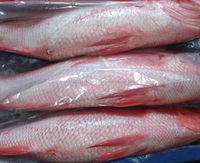 Frozen Red Snapper Whole Round