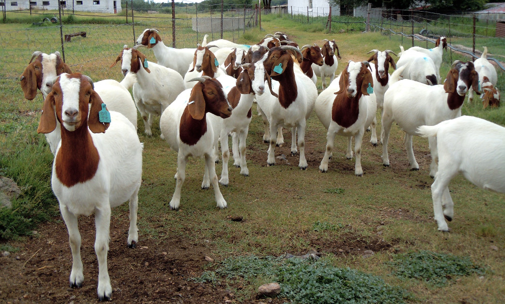 Boer Goats, Live Sheep, Cattle, Lambs and Cows