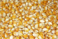 White And Yellow Corn/Maize for Animal Feed