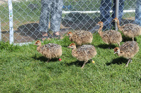 Ostrich Live Chickens for sale