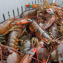 Hot sales price Big size American live lobster for sale