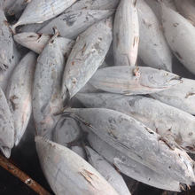 Frozen Skipjack tuna whole round