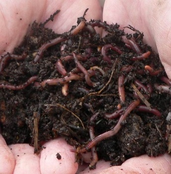 Vermicompost/Earthworm Organic Fertilizer from Vietnam