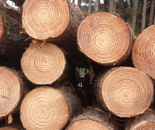 PINE WOOD LOGS FOR SALE